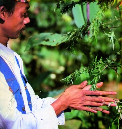A man in a white and blue shirt hand rubbing a hash plant