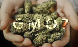 GMO sensi seeds blog
