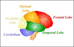 Epilepsy can affect various regions of the brain, such as the temporal lobe (© mitopencourseware)