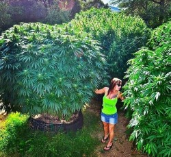 The feminisation of the world of cannabis 3 - Sensi Seeds blog