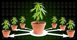 Cloning cannabis header