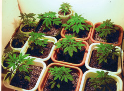 Cloning cannabis plants allows for a homogenous garden