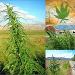 History of cannabis in series - Sensi Seeds blog