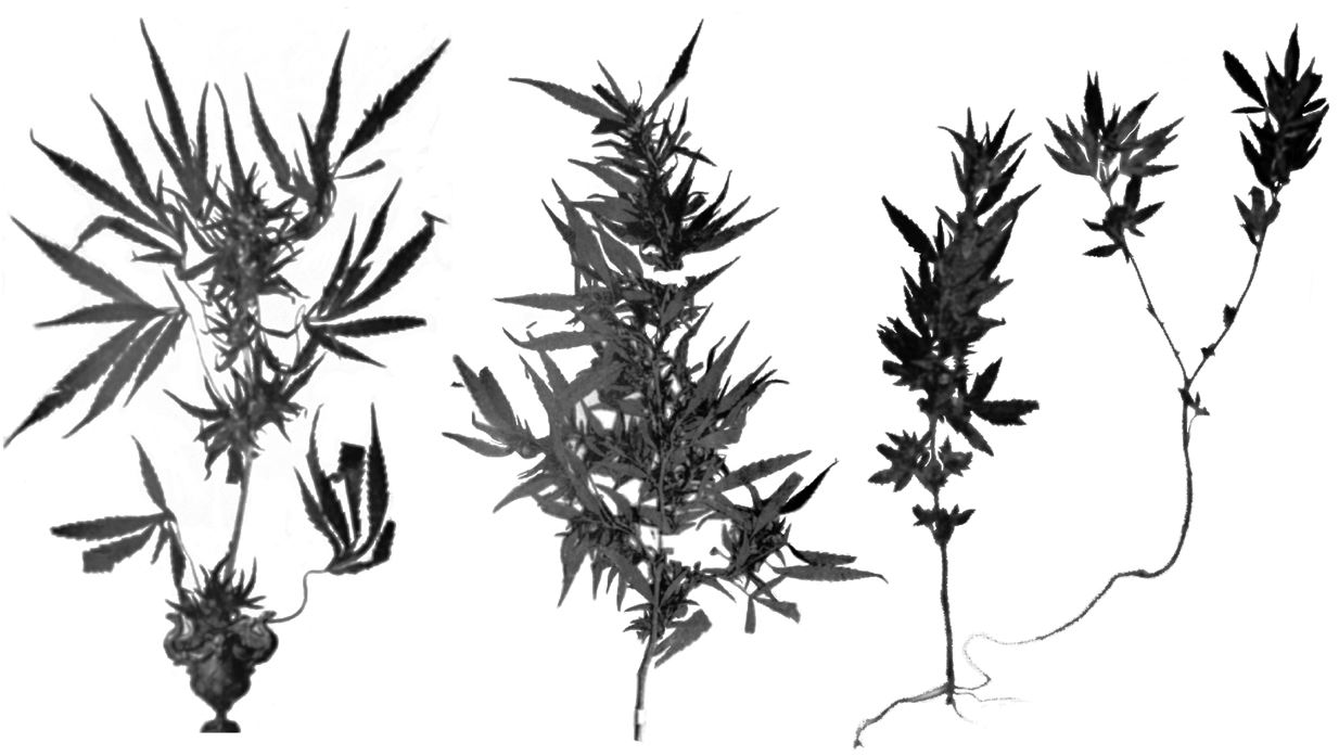Type specimens of C. sativa NLH, C. indica NLD and C. ruderalis the PA or NLHA. - Sensi Seeds blog