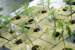 Cannabis in rockwool, in a grow facility in Colorado (by Brett Levin)
