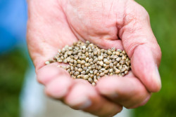 In the poem's first stanza, the poet makes quite clear that the poem is intended to portray the benefits of hemp seeds to non-users (CC. U.K. College of Agriculture, Food & Environment)