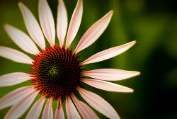Echinacea has been found to contain cannabimimetic N-alkyamides (© Christopher Craig)