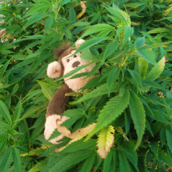 THC has been observed to alter cycle length in female rhesus monkeys (© Nina A.J.)