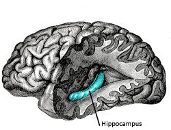 The hippocampus is an area of the brain that somewhat resembles a seahorse, and is the HQ of the interlinked processes of stimulus, reward and addiction (© Wikimedia Commons)