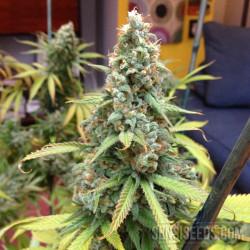 Shiva Shanti cannabis plant growing inside