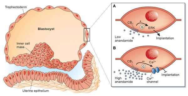 (A) en concentraciones reducidas, la anandamida puede activar los receptores CB1 de la superficie de las células embrionarias, facilitando su implantación; (B) en concentraciones mayores, la anandamida puede impedir dicha implantación al reducir la entrada de calcio