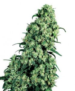 What is Skunk - 1 - Skunk No. 1 is the variety that popularised 'skunk' as a umbrella term for high-potency cannabis