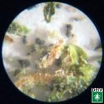 Bleisulfid Cannabis DHV