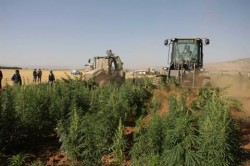 The-Lebanese-army-conducting-eradication-operations-in-the-Bekaa-Valley