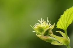 Incluso la flor temprana de la planta del lúpulo tiene un extraño parecido con el cannabis