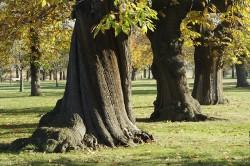 El castaño puede alcanzar una altura y circunferencia enormes, en un tiempo relativamente corto, y se sabe que produce abundantes monoterpenos