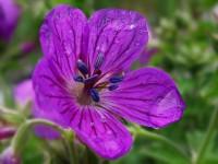 Los geranios, que despiden un fuerte aroma, suelen utilizarse como plantas de compañía para repeler a los insectos (© Jacilluch)