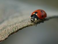Las mariquitas son insectos beneficiosos que se alimentan de pulgones y arañas rojas (© Nutmeg66)