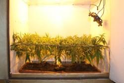 La técnica Screen of Green (SCROG) maximizará el rendimiento y la distribución de la luz independientemente del tamaño del cultivo.