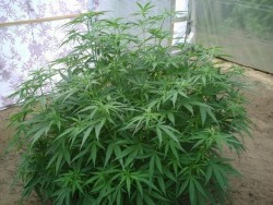 Mexican Sativa – © little farmer, forum.sensiseeds.com