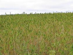 Aumenta el número de agricultores de todo el país interesados en cultivar cáñamo (©CSLP)