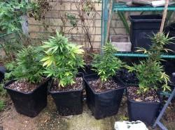 Cosas que debes saber sobre las semillas de cannabis autoflorecientes