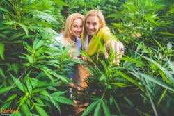 The feminisation of the world of cannabis 4 - Sensi Seeds blog