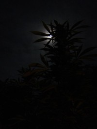 Proporcionar un período largo de oscuridad total es fundamental para que se produzca la floración del cannabis