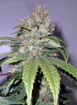 © tea, forum.oud.sensiseeds.com - Sensi Seeds Blog