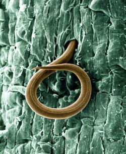 Una imagen sorprendente y hermosa de un nematodo parásito interno de las raíces, con el que acaba el cannabis (© USDAgov)