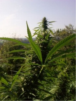 planta marihuana