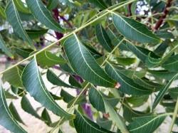 l'un des ingrédients actifs de l'arbre neem, la gédunine, a démontré sa capacité à déclencher la mort des cellules cancéreuses (WL Cutler)