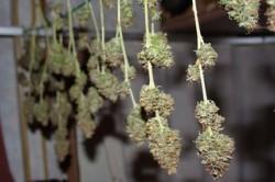 Cannabis Juice 4
