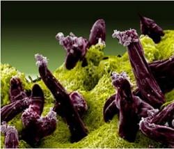 Le protozoaire parasite plasmodium gallinaceum pénétrant dans l'intestin d'un moustique (NIAID).