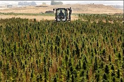 A-field-of-cannabis-in-Lebanons-Bekaa-Valley