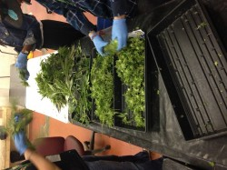 Visite riverrock premier dispensaire du colorado 2e for Installation cannabis interieur