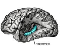 L'hippocampe et les zones parahippocampiques sont déterminants pour la consolidation de la mémoire (© Wikimedia Commons).