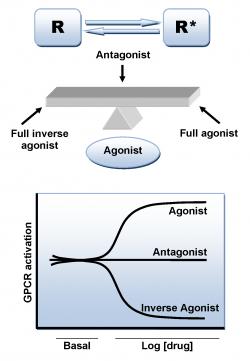 Les agonistes du récepteur CB1 sont associés aux troubles de la mémoire alors que les antagonistes réduisent les effets négatifs ou les compensent (© Wikimedia Commons).