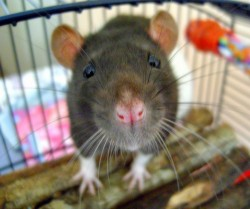 Les rats montrant des déficiences en récepteurs CB1 étaient incapables de supprimer les réactions acquises à la peur lorsque les stimuli cessaient (© Alice Rosen).