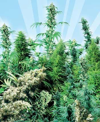 Les 5 meilleures vari t s de cannabis sensi seeds pour l for Exterieur weed