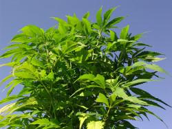Depuis 2008, la culture d'un nombre illimité de plants de cannabis peut être présentée comme destinée à un usage personnel (© twicepix).