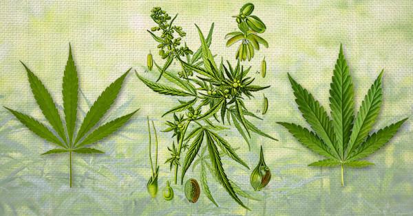 Naming cannabis - Sensi Seeds blog