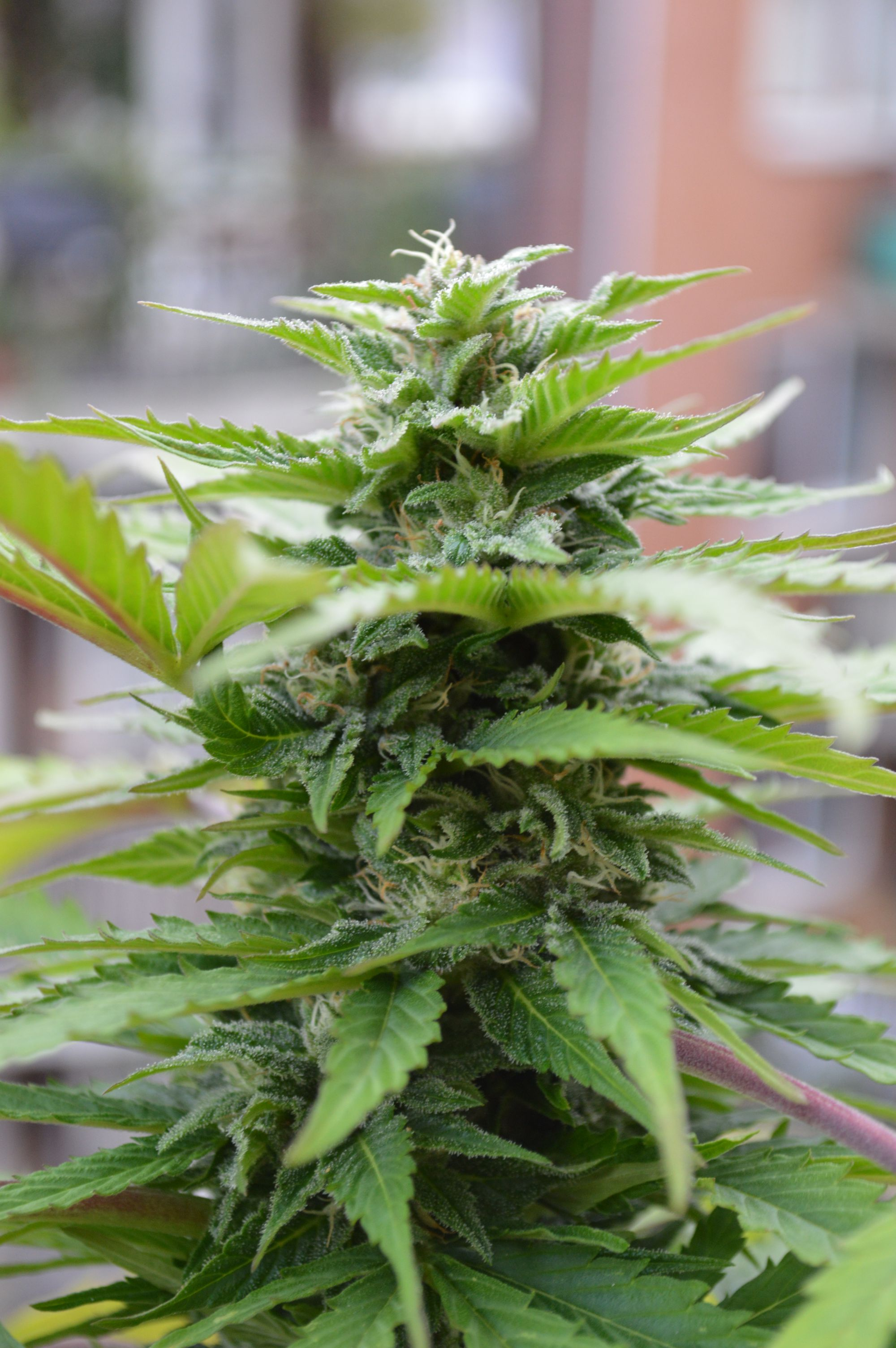 Sensi skunk automatic de sensi seeds for Floraison cannabis exterieur