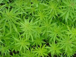 Le gouvernement de l'Uruguay a finalement autorisé deux entreprises à cultiver du cannabis qui sera vendu en pharmacies en 2016.