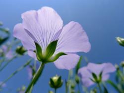 On a récemment découvert dans les graines de lin des composés très similaires aux CBD (© xia.aike) - Sensi Seeds Blog