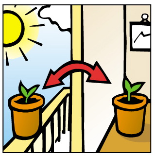 Sadzonki można trzymać przy nasłonecznionym oknie tak długo, aż będą gotowe do zasadzenia na zewnątrz.