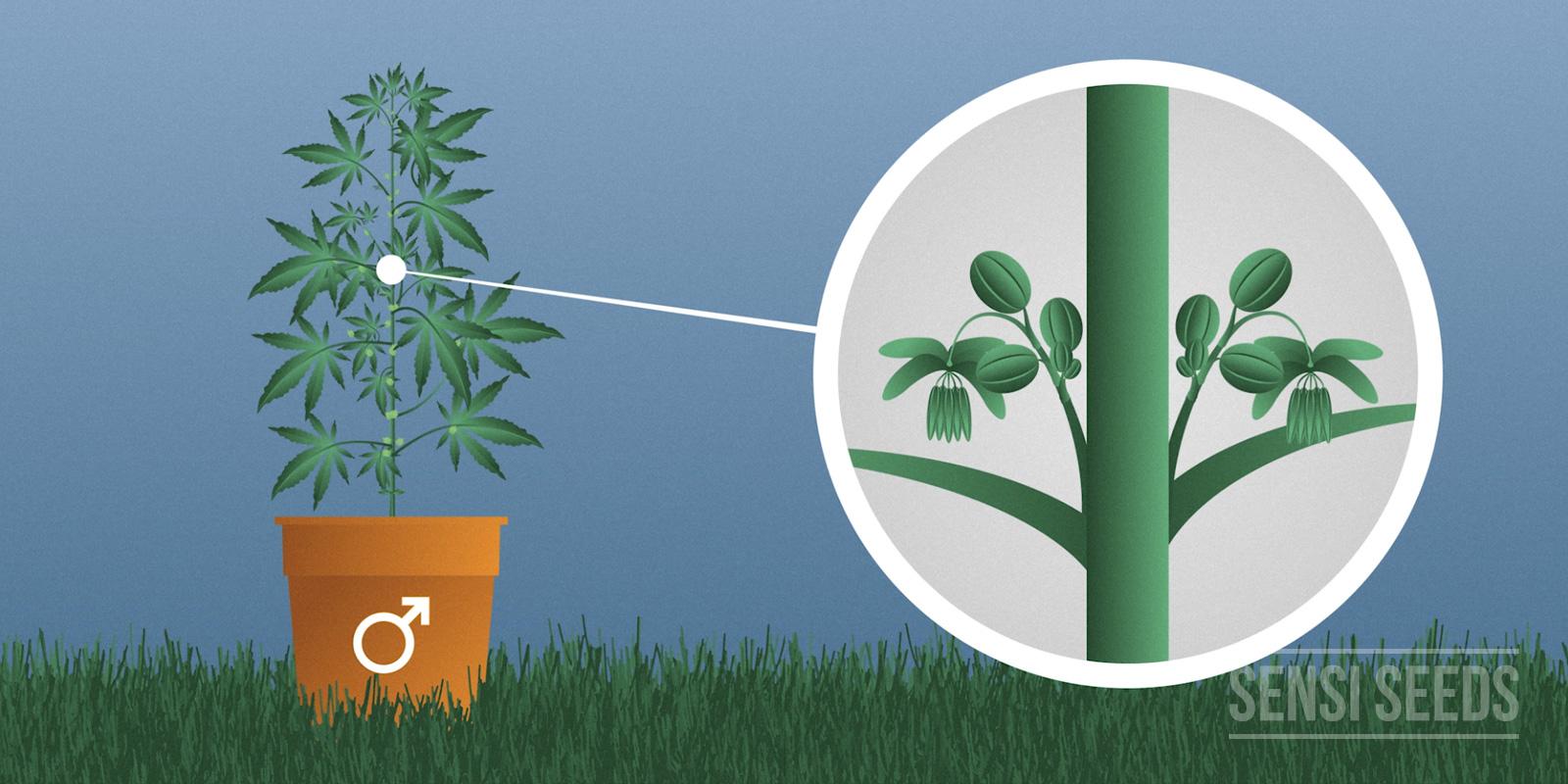 Mannelijke cannabis plant