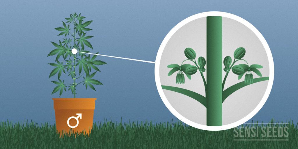 Planta macho de Cannabis