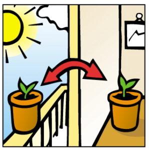 Vous pouvez laisser vos plantules sur le bord d'une fenêtre ensoleillée jusqu'à ce qu'elles soient prêtes à pousser à l'extérieur.