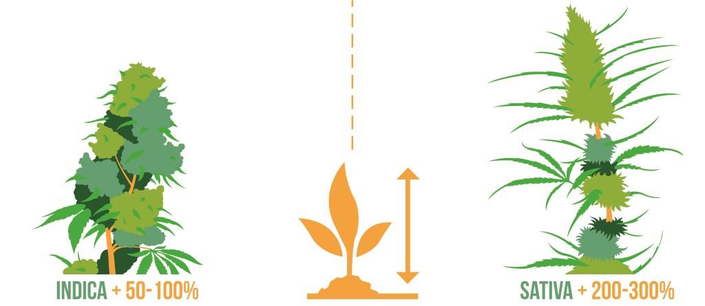 Verschil tussen indica en sativa - grootte - indica sativa